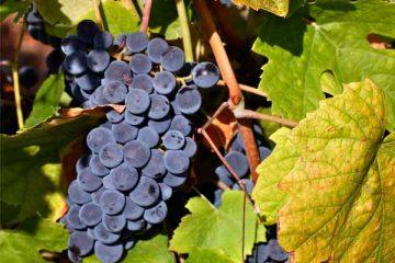 Festa do Vinho em Catas Altas